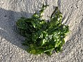 2020-10-18 16 52 19 Seaweed on the beach near East 9th Street in Barnegat Light, Ocean County, New Jersey.jpg