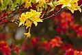 20200503Rhododendron Deutsch-Franzoesischer Garten 03.jpg