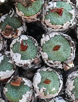 Conophytum truncatum - C. truncatum in habitat near Oudtshoorn.