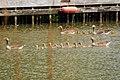 2 Families Greylag goose with their kids close to them. - panoramio.jpg