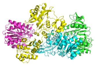 Succinyl coenzyme A synthetase - Image: 2scu