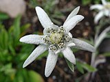 5668 - Schynige Platte - Leontopodium alpinum.JPG