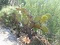 64.Agios Nikitas - Cactus pe drumul catre plaja Mylos - panoramio.jpg
