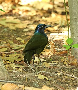 937 - COMMON GRACKLE (6-1-2018) yankee springs, barry co, mi -01 (42928232191).jpg