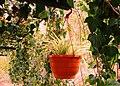 A@a Kyproulas garden askas30 Cyprus - panoramio.jpg