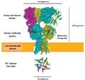 AMPA receptor.sr.png