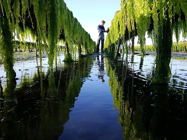 AONORI - Algues de l'Île de Ré.jpg