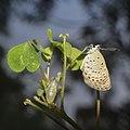 A Freshly emerged Pseudozizeeria maha (Kollar, (1844)) – Pale Grass Blue.jpg