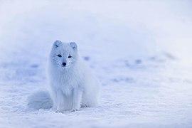 A Iceland Arctic Fox.jpg