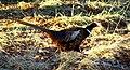 A Pheasant at Castle Grant - geograph.org.uk - 1609947.jpg