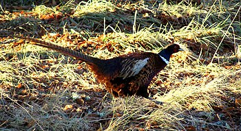 English: A Pheasant at Castle Grant Pheasants ...