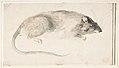 A Rat Seen in Profile. MET DP809442.jpg