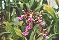 A and B Larsen orchids - Encyclia cordigera 971-20.jpg