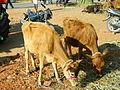 A calf in market3.JPG