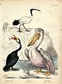 A cormorant, an ibis and a pelican standing near the water. Wellcome V0020477.jpg