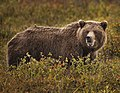 A grizzly bear eats berries north of the park road, near mile 19, on August 23, 2019. (aa71e095-9015-48ef-a771-8c4581bbba9c).JPG