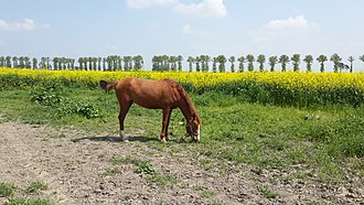 Gonbad-e Qabus (tower) - Ahorse in Gonbad Kavous  horse race stadium in the spring.jpg