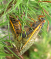 A pair of Magicicada septendecim mating (Brood IX) - journal.pone.0000892.g004B.png