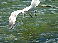 A pescar!! patiamarilla zambullendose en el Urumea.jpg