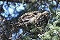 A spruce grouse in a spruce tree (410265f9-bc7a-4cc2-9b0c-8d41489ad89b).jpg