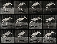 A stork walking. Photogravure after Eadweard Muybridge, 1887 Wellcome V0048788.jpg