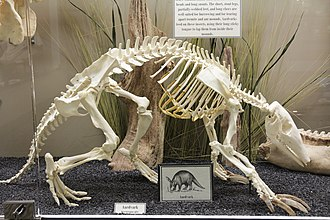 Aardvark - Skeleton of an aardvark on display at the Museum of Osteology.