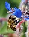 Abeja libando una borraja 09 - bee sucking a borage flower - abella libant una borraina (2358643661).jpg