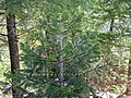 Abies pindrow India17.jpg