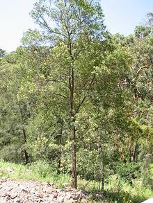 Acacia Parramattensis Wikipedia