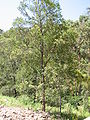 Acacia parramattensis-tree.jpg