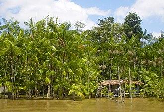 Açaí palm - A grove of açaí palms in Brazil