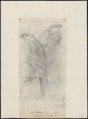 Accipiter virgatus - 1833-1850 - Print - Iconographia Zoologica - Special Collections University of Amsterdam - UBA01 IZ18300115.tif