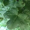 Acer - Érables (cropped).jpg