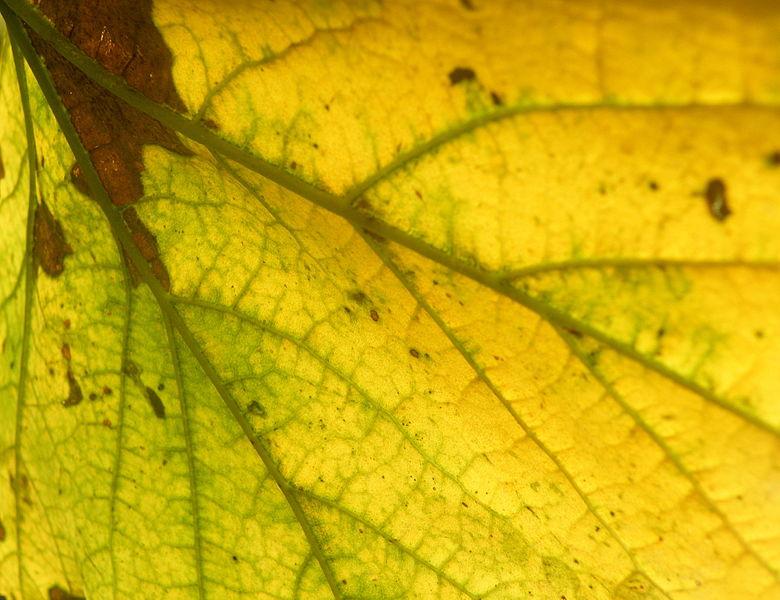 File:Acer pseudoplatanus (1).JPG