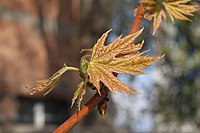 Acer saccharinum young leaves.JPG