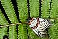 Achelura sanguifasciata (25981700561).jpg