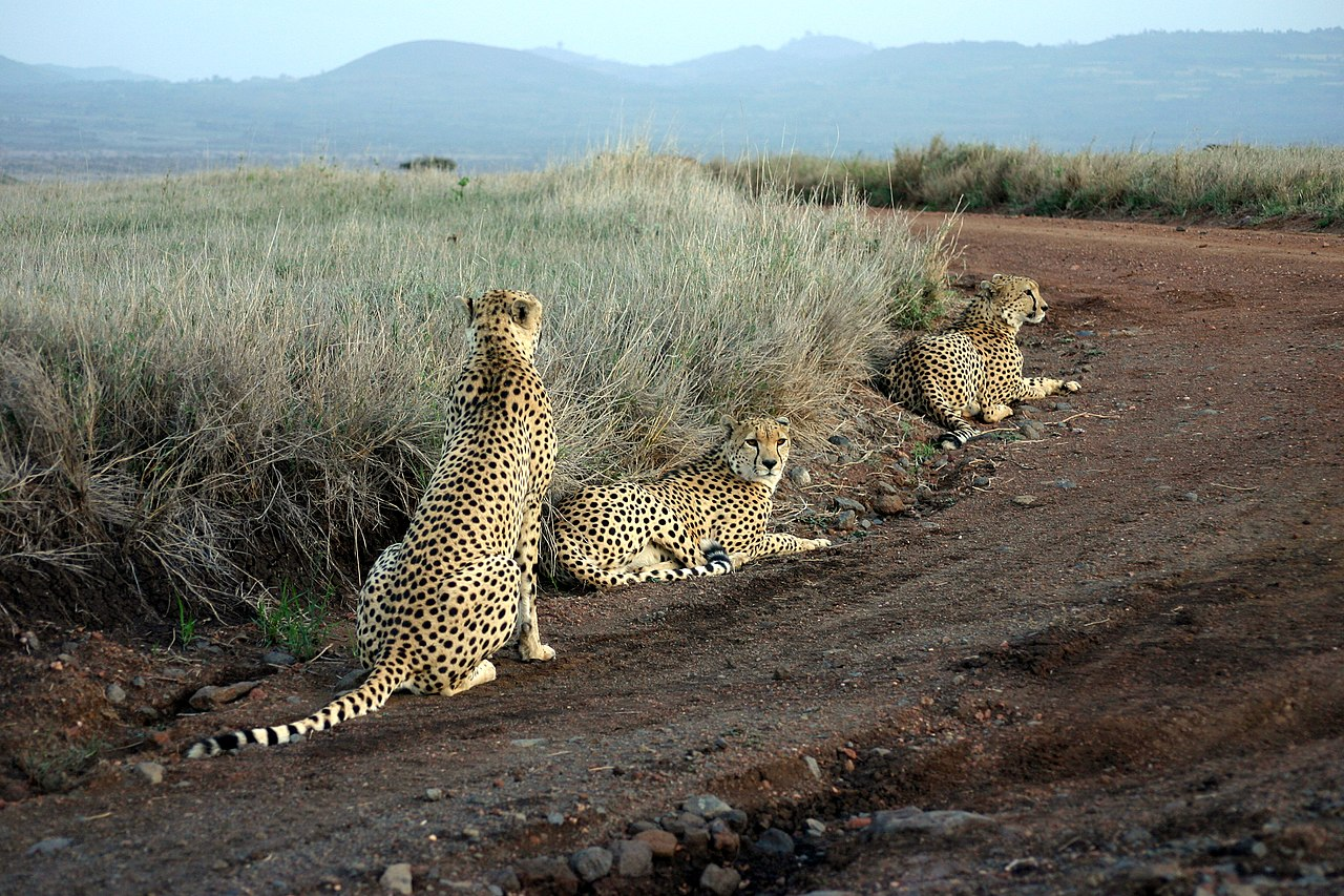 Cheetahs at Lewa game park. Credit: Kevin Walsh