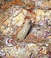 Acompsia cinerella (34688357944).jpg