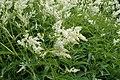Aconogonon alpinum kz01.jpg