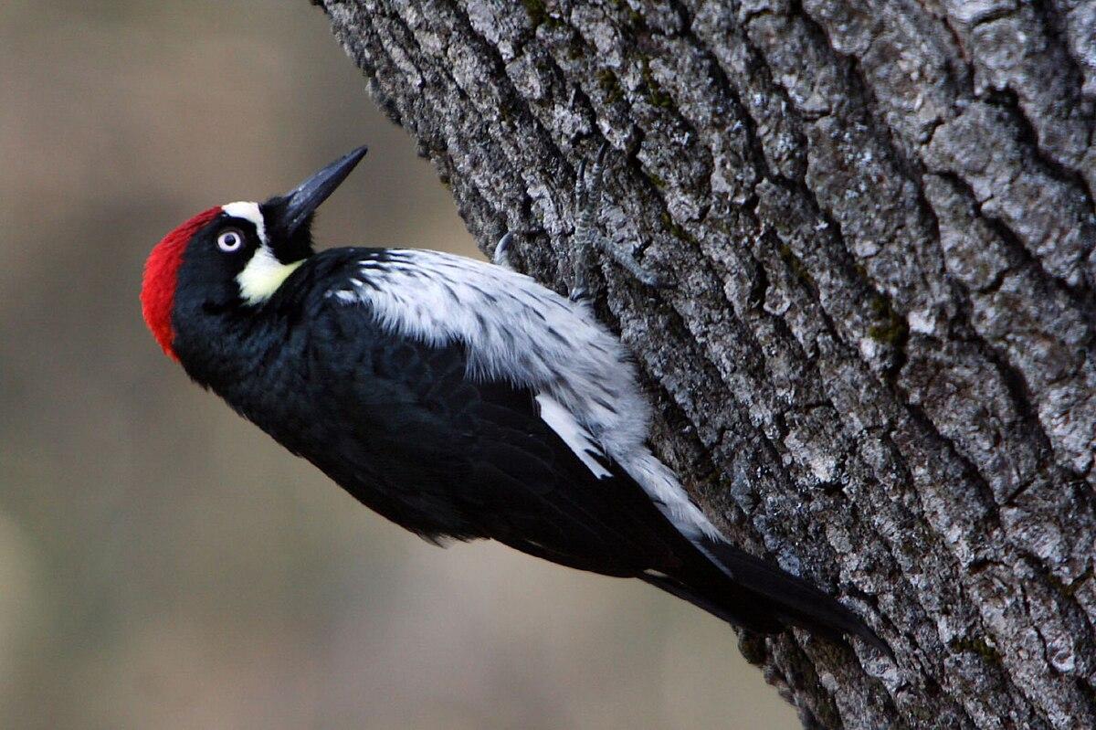 acorn woodpecker - Wiktionary