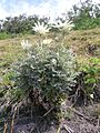Actinotus helianthi plant1 (8372161322).jpg