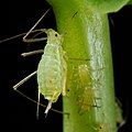 Acyrthosiphon pisum (pea aphid)-PLoS.jpg