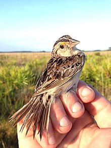 Adult Florida grasshopper sparrow.jpg