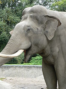 A headshot of an adult Asian Elephant.