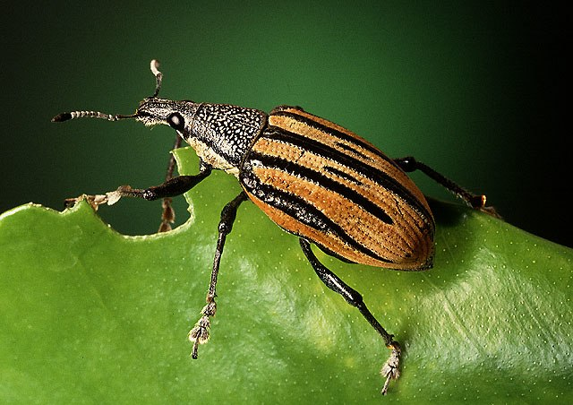 Adult citrus root weevil