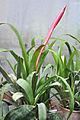 Aechmea bromeliifolia Aechmea ეხმეა.JPG
