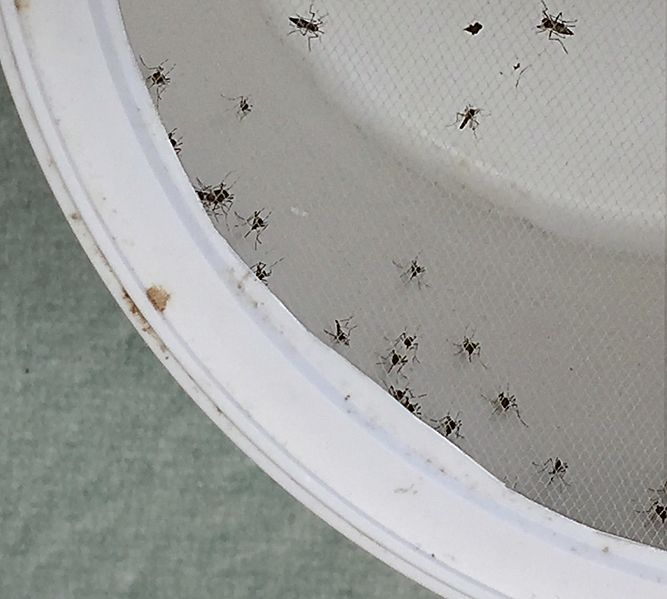 File:Aedes Aegypti Mosquitoes (26444925321).jpg