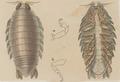 Aega emarginata - - Print - Iconographia Zoologica - Special Collections University of Amsterdam - UBAINV0274 098 11 0003 (cropped1).tif