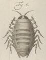 Aega emarginata - - Print - Iconographia Zoologica - Special Collections University of Amsterdam - UBAINV0274 098 11 0003 (cropped3).tif
