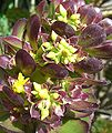 Aeonium arboreum (2).jpg